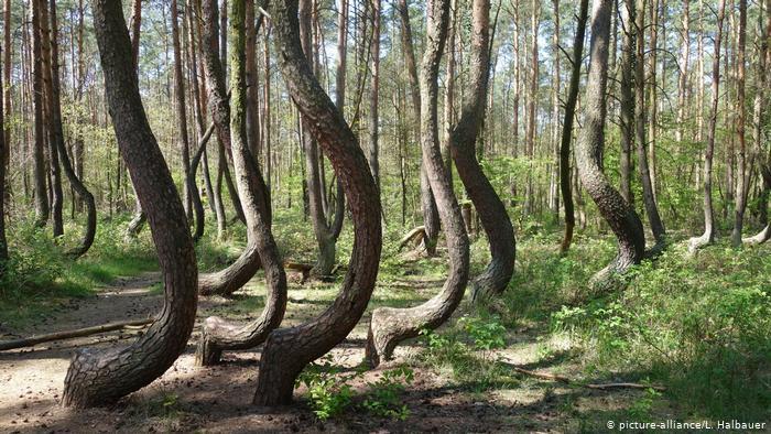 Les théories autour de cette forme exceptionnelle des arbres