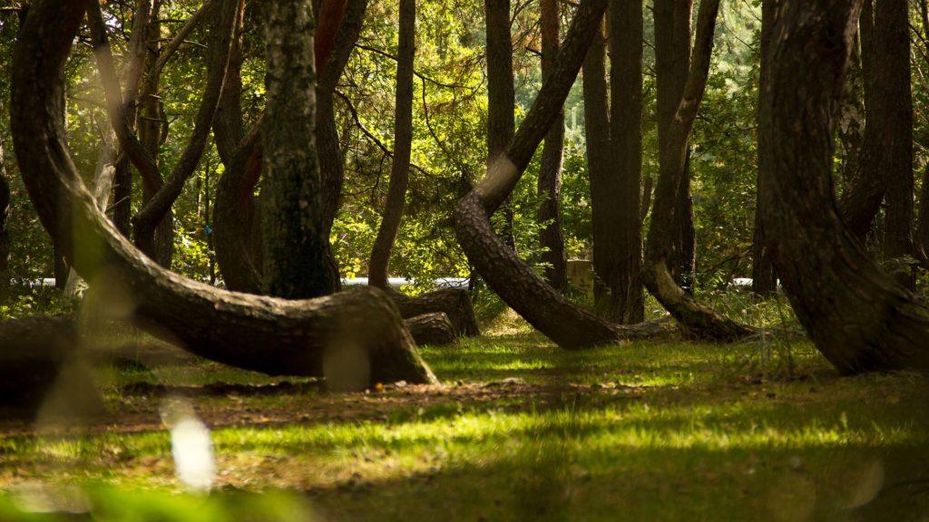 Crooked Forest : la mystérieuse forêt tordue de Pologne