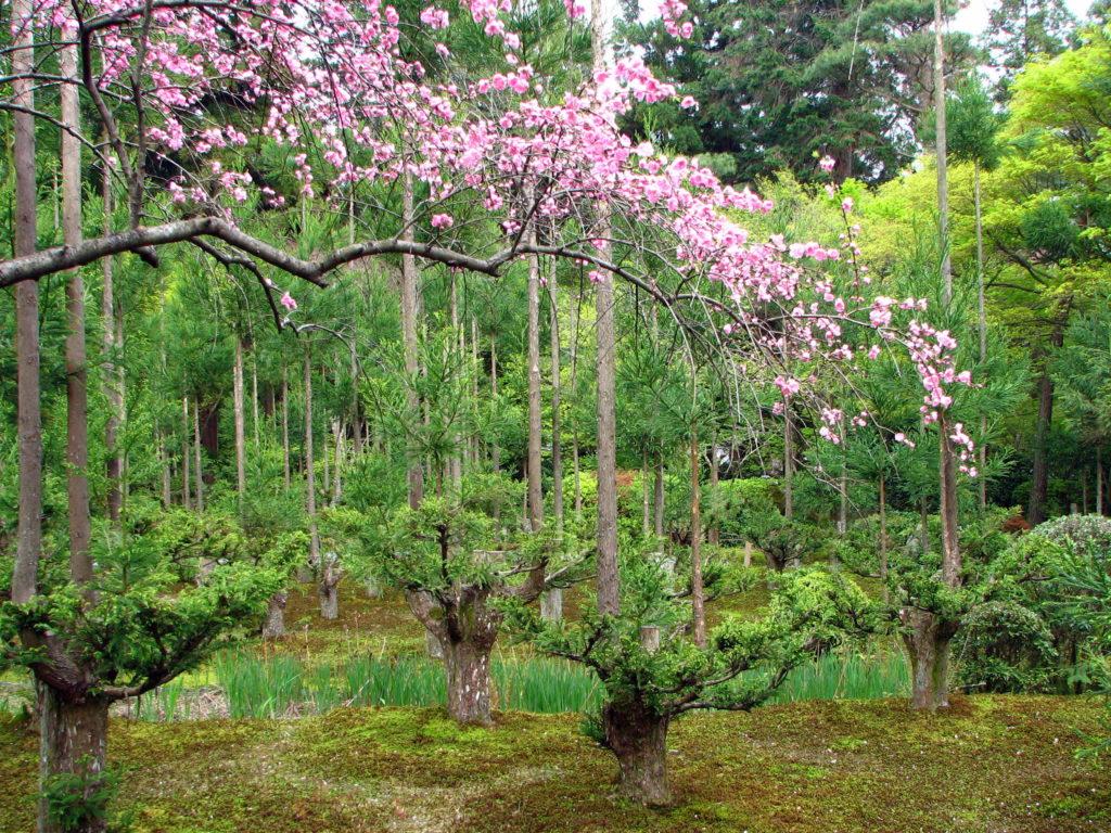 Daisugi, produire du bois sans couper des arbres